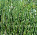Horsetail Rush