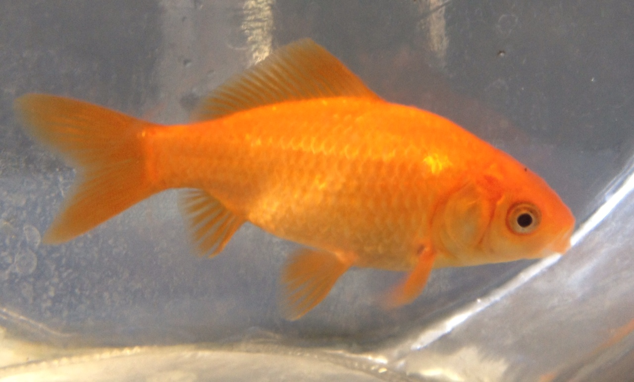Van ness water garden fish for sale for Outdoor goldfish for sale