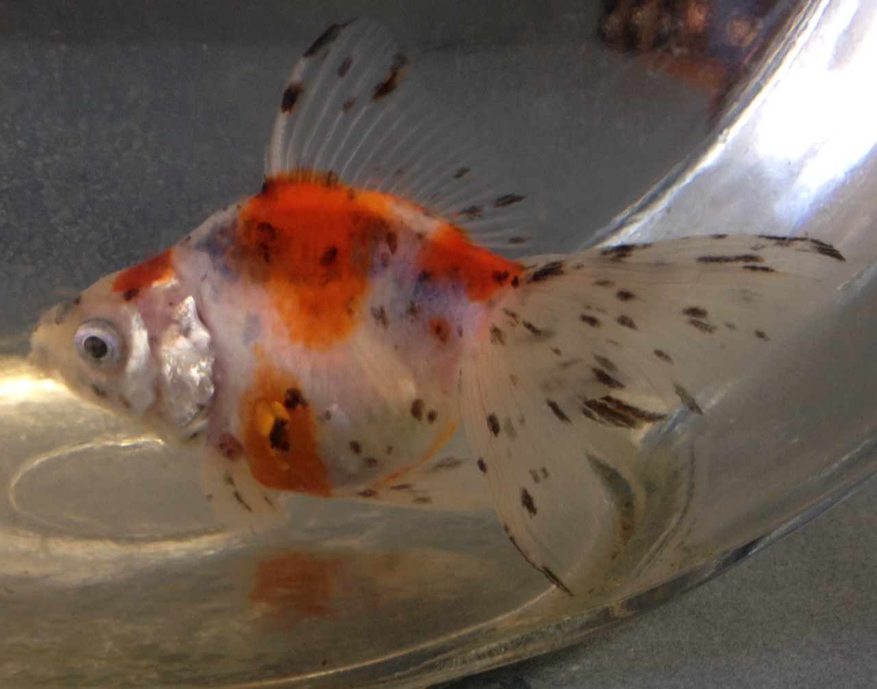 Fantail goldfish male or female for Outdoor goldfish for sale