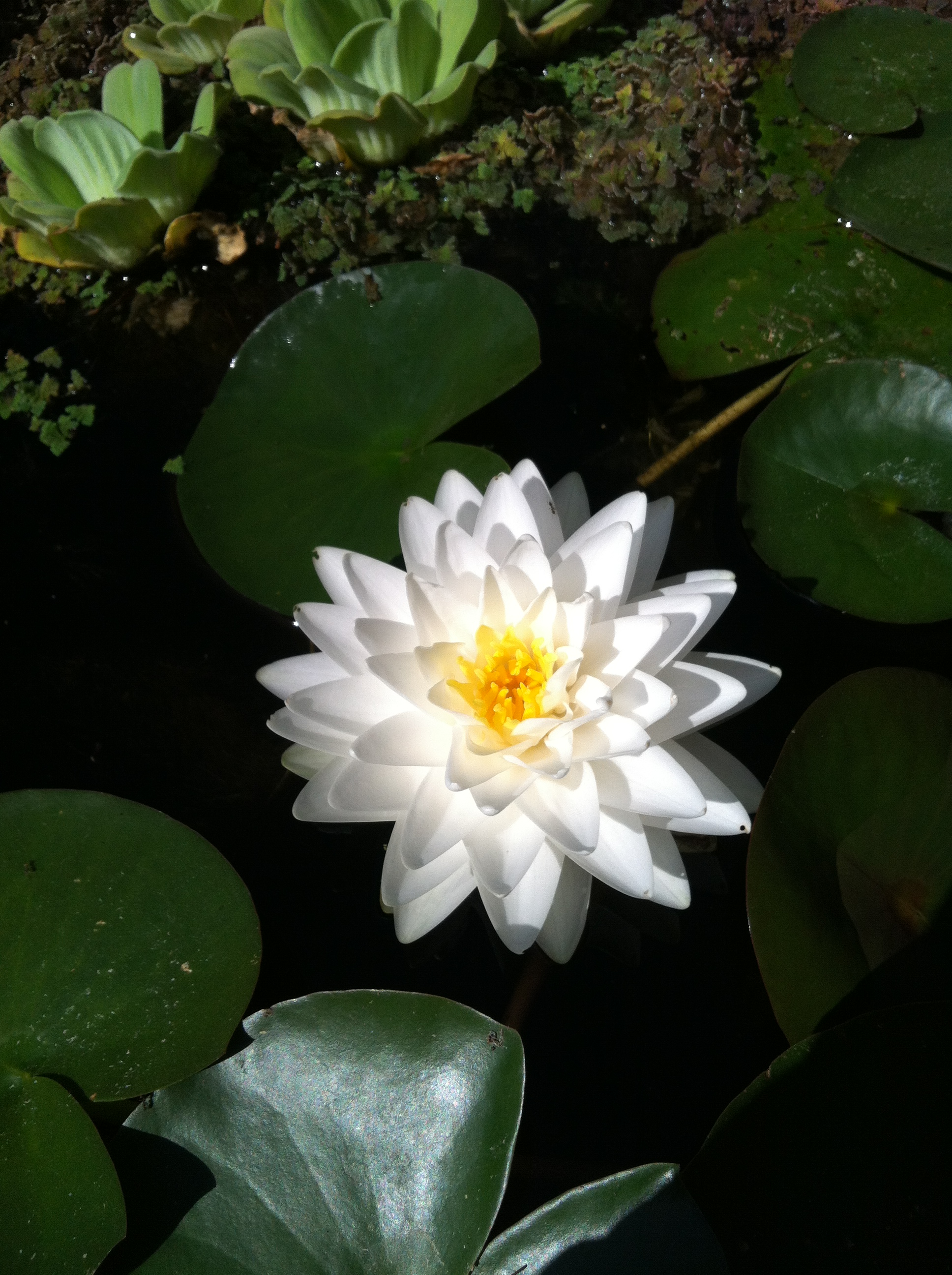 Van ness water garden white hardy water lilies gonnere izmirmasajfo Gallery