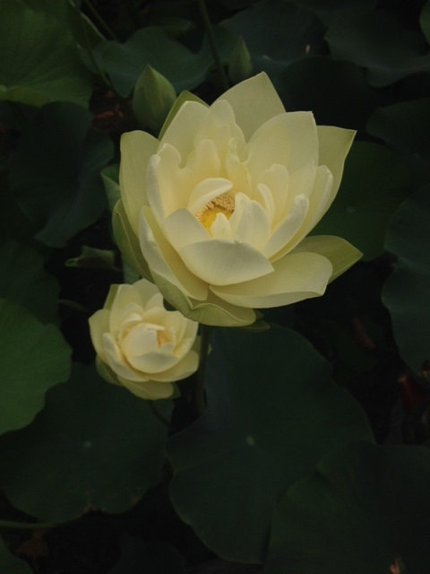 van ness water garden white lotus, Beautiful flower