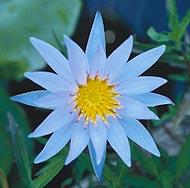 plant_blue_star.jpg