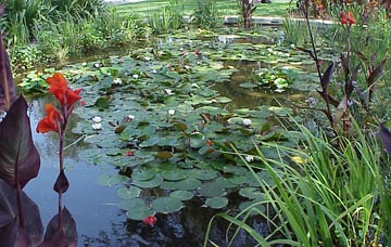 Picture of KOI pond. The efforts of water gardening pay off.