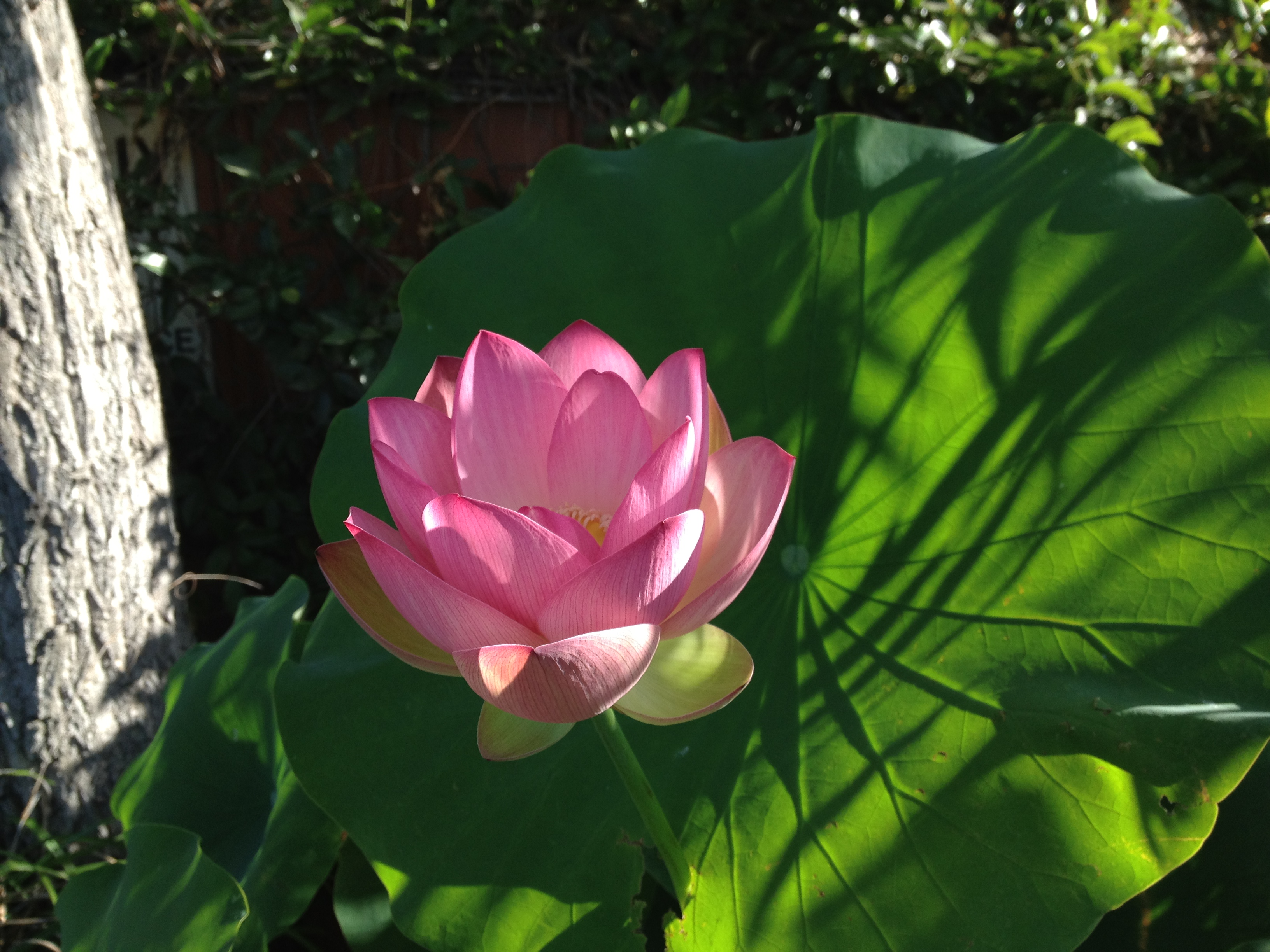 A pink lotus that broke through his leaf