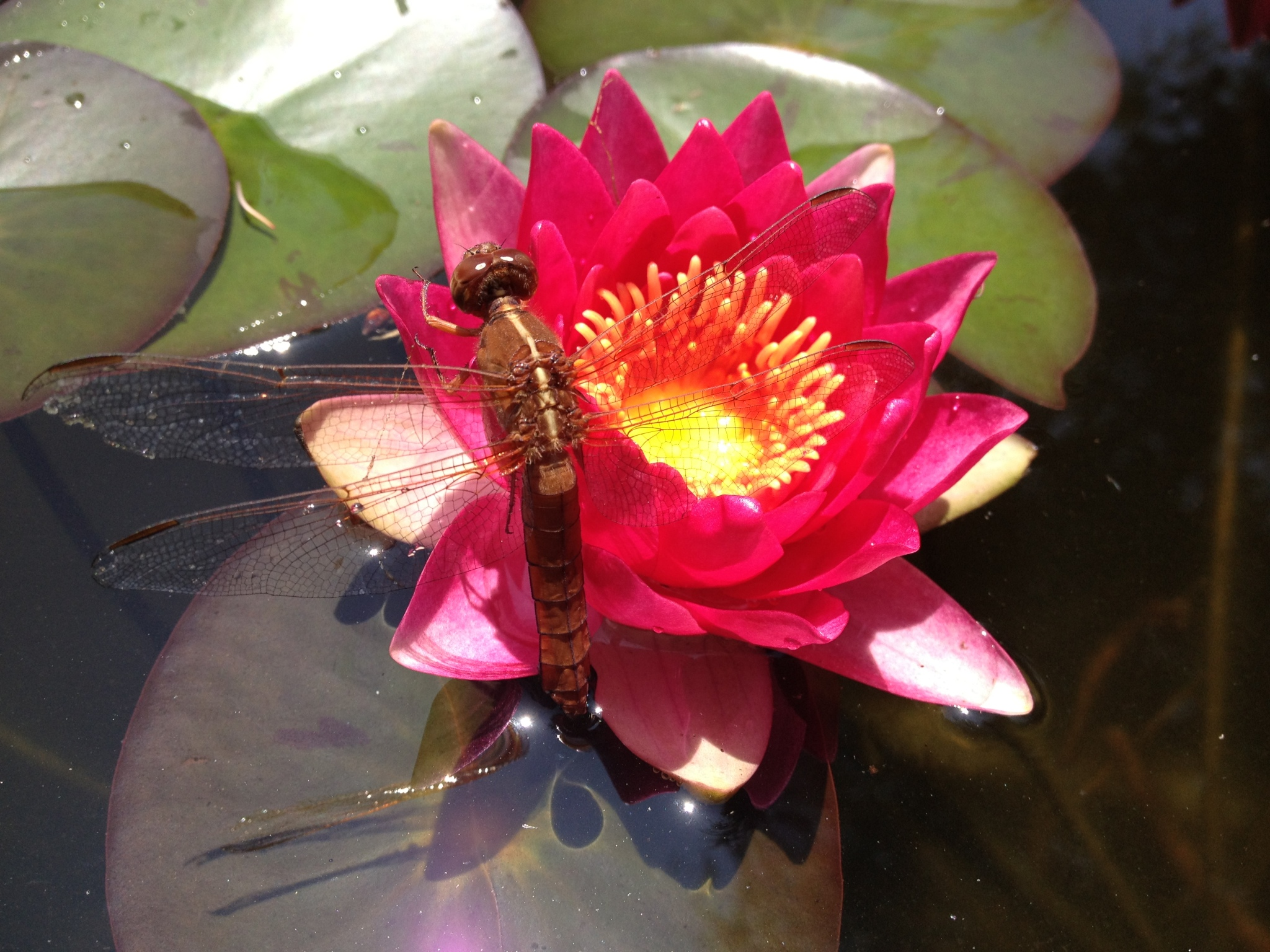 A Dragonfly resting on a Sultan Water Lily