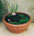 Terracotta Pot converted into a Tub Garden home for a beautiful Pink Hardy Water Lily.