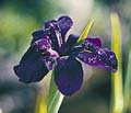Black Widow Water Iris -