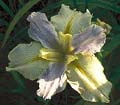 Bridesmaid Water Iris -