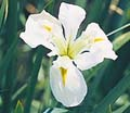 Her Heighness White Water Iris -