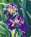 Purple Water Iris -